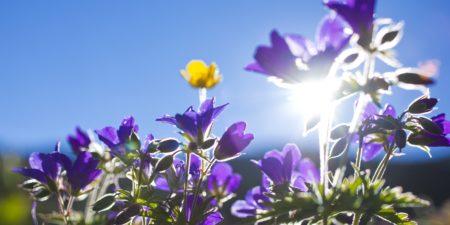 Haute maurienne vanoise parc national de la vanoise savoie mont blanc val cenis fleurs