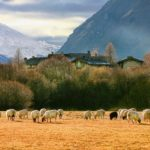 35.bessans moutons villaron60x120