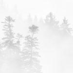 430.sapins dans la brume 2