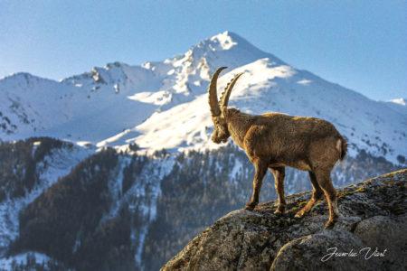 bouquetin montagnes savoie mont blanc parc national de la vanoise haute maurienne vanoise