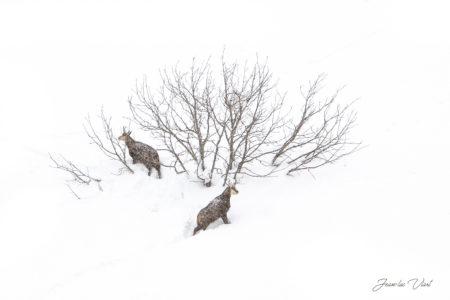 chamois neige parc national de la vanoise haute maurienne vanoise savoie mont blanc